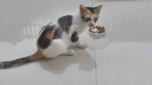 Kucing ini pun makan seporsi. Jika tidak habis, dia tinggalkan dan dimakan kucing lainnya. Foto: dok. pribadi